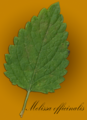 Melissa officinalis scanned leaf.png