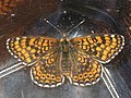 Melitaea cinxia - Glanville fritillary - Шашечница обыкновенная (41109015552).jpg