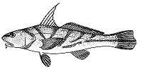 Menticirrhus saxatilis (line arg)