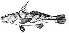 Menticirrhus saxatilis (line arg).jpg