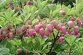Menziesia multiflora var. longicalyx (200307).jpg