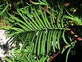 Metasequoia glyptostroboides leafs.jpg