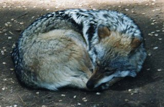 MexicanWolf2.jpg