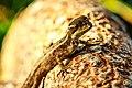 "Miami - Fairchild Tropical Botanic Garden - ""hello there Mr lizard (12260327406).jpg"