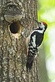 Middle Spotted Woodpecker (Dendrocopos medius) (14366183264).jpg