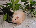 Mikos Teddy Bear Hamster.jpg