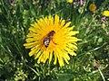 Mniszek lekarski pod pszczołą.jpg