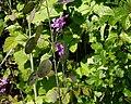 Money Plant - Lunaria spp. (14022711531).jpg