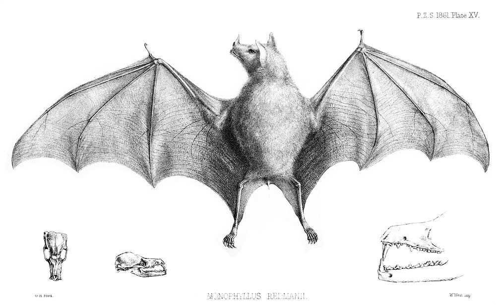The average adult weight of a Leach's single leaf bat is 8 grams (0.02 lbs)