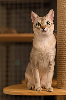 Are Siamese Cats Born With Blue Eyes