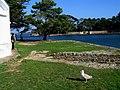 Morbihan Larmor-Baden Ile Berder Mouette - panoramio.jpg