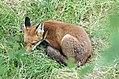 More bagel fox (2741821911).jpg