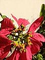 Mosca das flores (Ceriana sp) 09.jpg