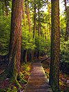 A curving boardwalk through a forest of massive hemlock trees