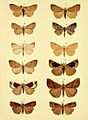 Moths of the British Isles Series2 Plate035.jpg