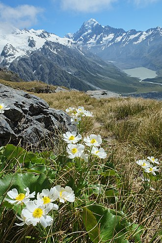 Ranunculus lyallii - Image: Mount Cook Buttercups with Hooker Valley in the background