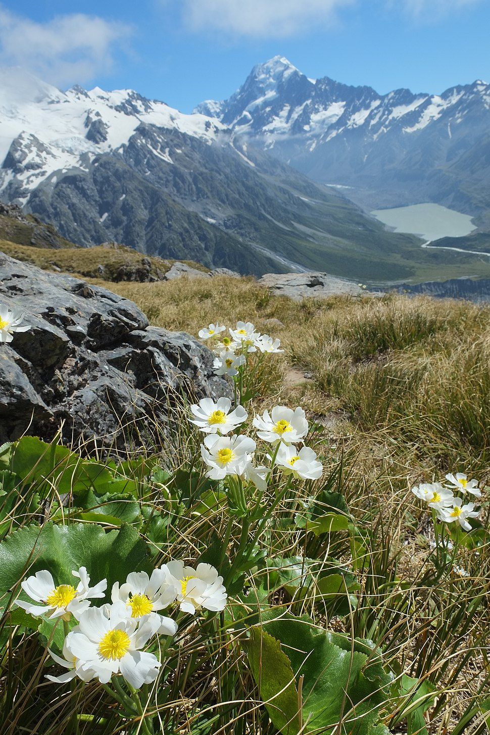 Mount Cook Buttercups with Hooker Valley in the background