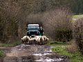 Moving sheep to greener pastures - geograph.org.uk - 363070.jpg
