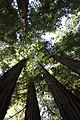 Muir Woods National Monument 2010 08.JPG