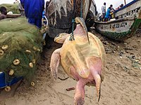 Muntaka-Chasant-Sea-Turtle-wikipedia.jpg