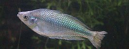 Murray River Rainbow Fish.jpg
