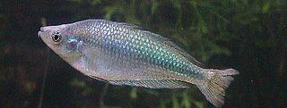 <i>Melanotaenia fluviatilis</i> species of fish