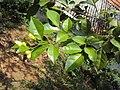Murraya paniculata 02.JPG