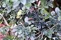Murraya paniculata 10zz.jpg
