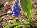 Muscari close up - panoramio.jpg