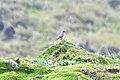 Muscisaxicola alpinus alpinus in Andes, Ecuador.jpg