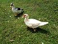 Muscovy ducks outside.jpg