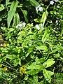 Myosotis scorpioides001.jpg