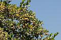 Myrtus sp. - Murt - Yaban mersini 02.JPG