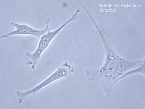 Fibroblast - NIH/3T3 Fibroblasts in cell culture