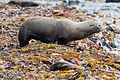 NZ280315 Kaikoura Fur Seal 03.jpg
