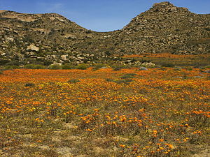 Ephemeral plant - This normally bare desert in Namaqualand, Goegap Nature Reserve in South Africa has a proliferation of flowers and desert ephemerals during the brief spring wet season.