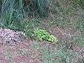 Nandina domestica Thunb. (AM AK329777-3).jpg