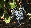 Napa Vineyard Grapes.jpg