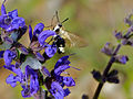 Narrow-bordered Bee Hawkmoth (Hemaris tityus) on Meadow Sage (Salvia pratensis) (14162449095).jpg