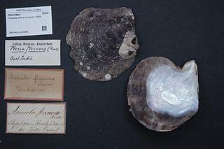 <i>Pinctada albina</i> species of mollusc