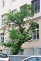 Naturdenkmal 742 2014-05-10 (41) Wien06 Hirschengasse18 Schwarzer Maulbeerbaum GuentherZ.JPG
