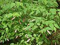 Neillia tibetica - Flickr - peganum (1).jpg