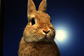 Netherlands dwarf rabbit.jpg