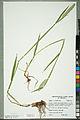 Neuchâtel Herbarium - Alopecurus pratensis - NEU000100155.jpg