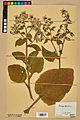 Neuchâtel Herbarium - Borago officinalis - NEU000020573.jpg