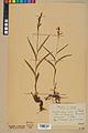 Neuchâtel Herbarium - Cephalanthera rubra - NEU000046831.jpg