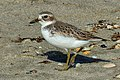 New Zealand Dotterel. (Charadrius obscurus) (32094680023).jpg