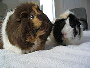 Two parti-colored Abyssinian guinea pigs