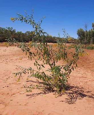 Nicotiana glauca - Image: Nicotiana glauca plant
