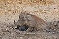 Nolan warthog (Phacochoerus africanus africanus) in mud.jpg